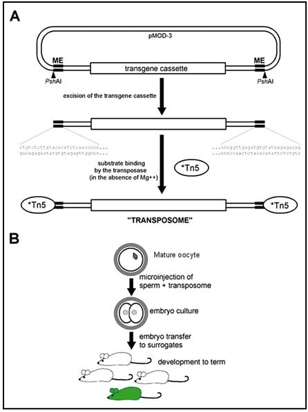 Centre For Transgenic Models Transposon Based Gene
